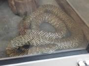 Cameron Highlands Butterfly Farm - Big Snake