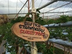 Cameron Lavender Garden Strawberry self-pick area closed today