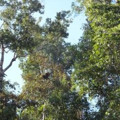 Sightings of the Orang Utans Bed in Kinabatangan River Wildlife Sanctuary