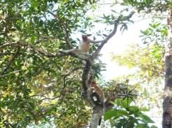 Proboscis Monkeys in Kinabatangan River Wildlife Sanctuary