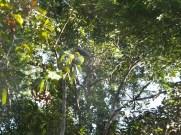 Proboscis Monkey Closeup in Kinabatangan River Wildlife Sanctuary