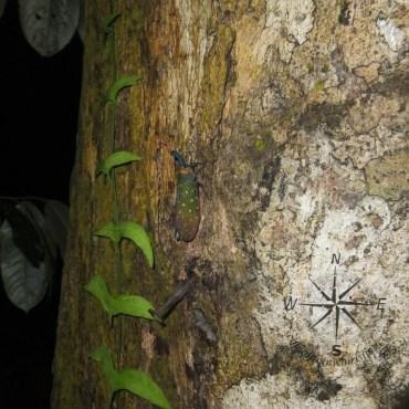 Lantern Bug in Sukau Forest Kinabatangan
