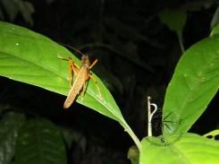 Orange Grasshopper Backview in Sukau Forest Kinabatangan