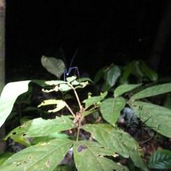 Skinny Spider on Leaf in Sukau Forest Kinabatangan