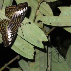 Beautiful Butterfly on Leaf in Sukau Forest Kinabatangan