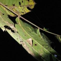 Green Grasshopper on Branch in Sukau Forest Kinabatangan
