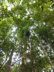 Another sightings of Orang Utan Nest during Morning Jungle Trekking in Kampung Sukau Forest near Sukau Evergreen Lodge Kinabatangan