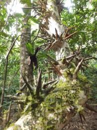 Unique sharp edges tree during Morning Jungle Trekking in Kampung Sukau Forest near Sukau Evergreen Lodge Kinabatangan