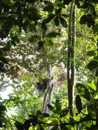3rd or 4th Orang Utan Nest Sightings during Morning Jungle Trekking in Kampung Sukau Forest near Sukau Evergreen Lodge Kinabatangan