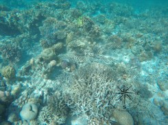 More Corals while Snorkeling around Sibuan Island, Semporna Island Hopping