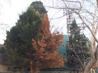 Explore Canakkale, Turkey – 2 different leave colours on a tree