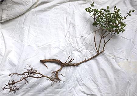 This sad-looking bush would a make a nice bonsai!