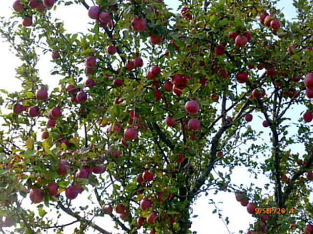 Apfelbäume-8.9.14   (2)