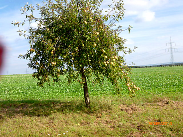 Apfelbäume--8.9.14   (4)
