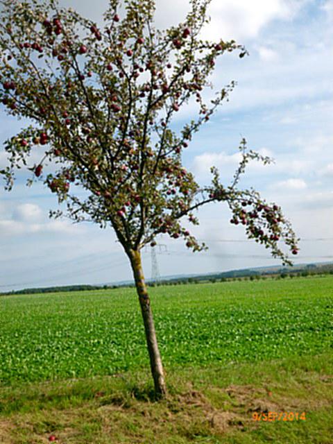 Apfelbäume--8.9.14   (7)