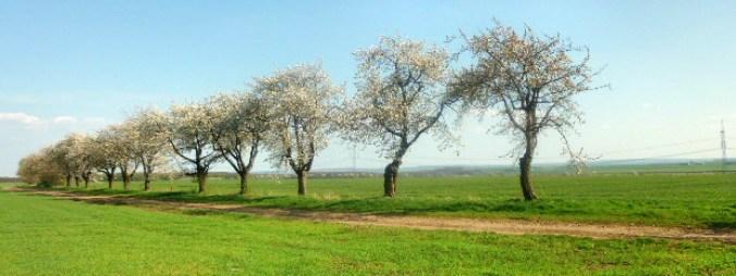 Walpurgishexe und Kirschblüte - 24.4.15   (2)
