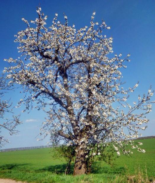 Walpurgishexe und Kirschblüte - 24.4.15   (3)