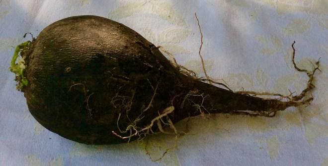 Rote Beete Gemüse,Rührei,Rettichsalat - 26.8.15   (3)