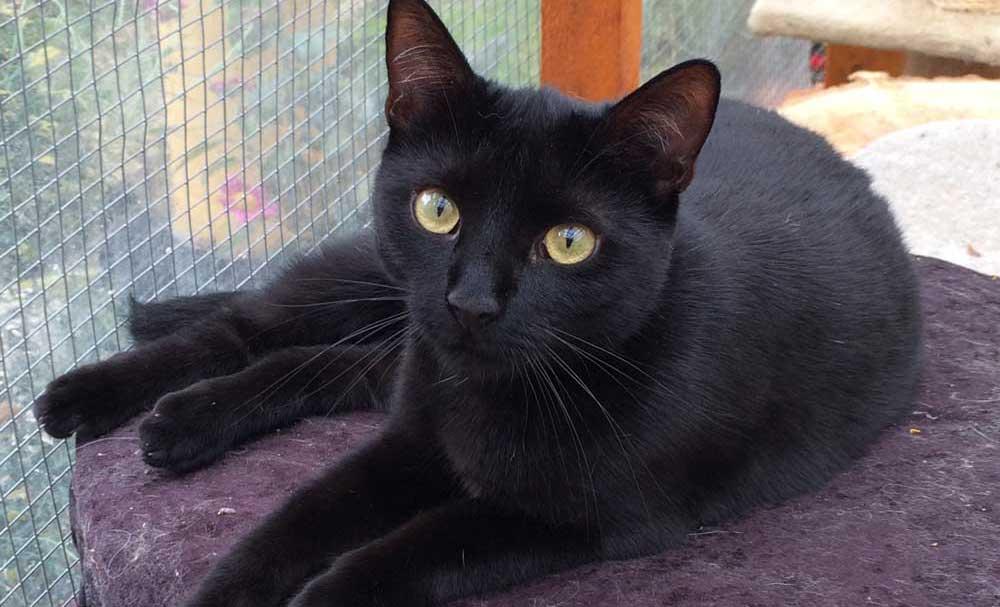 Ist es wahr, dass schwarze Katzen Unglück bringen? - Schnurrinchen