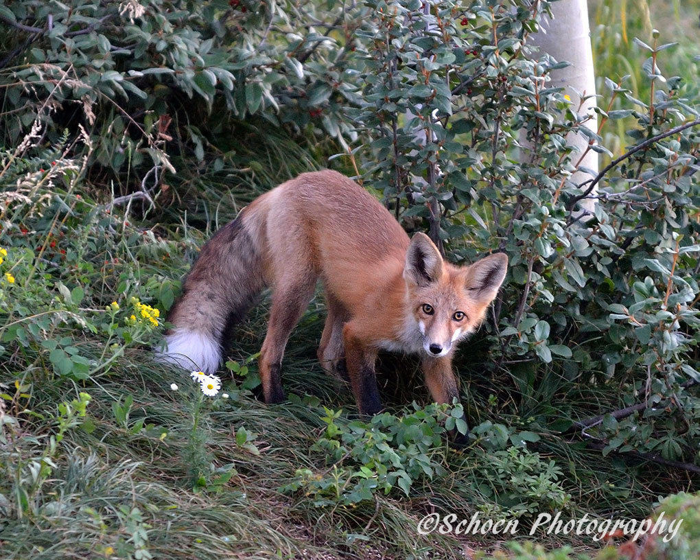 Fox 008