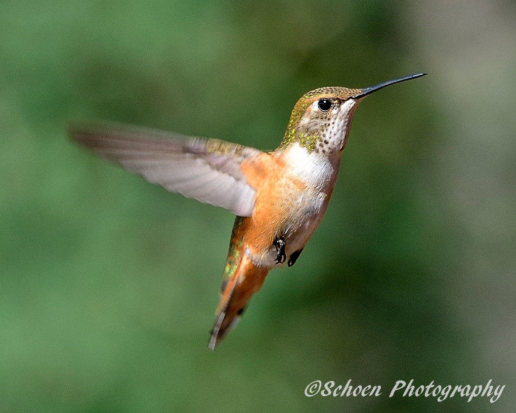 Hummingbird 004
