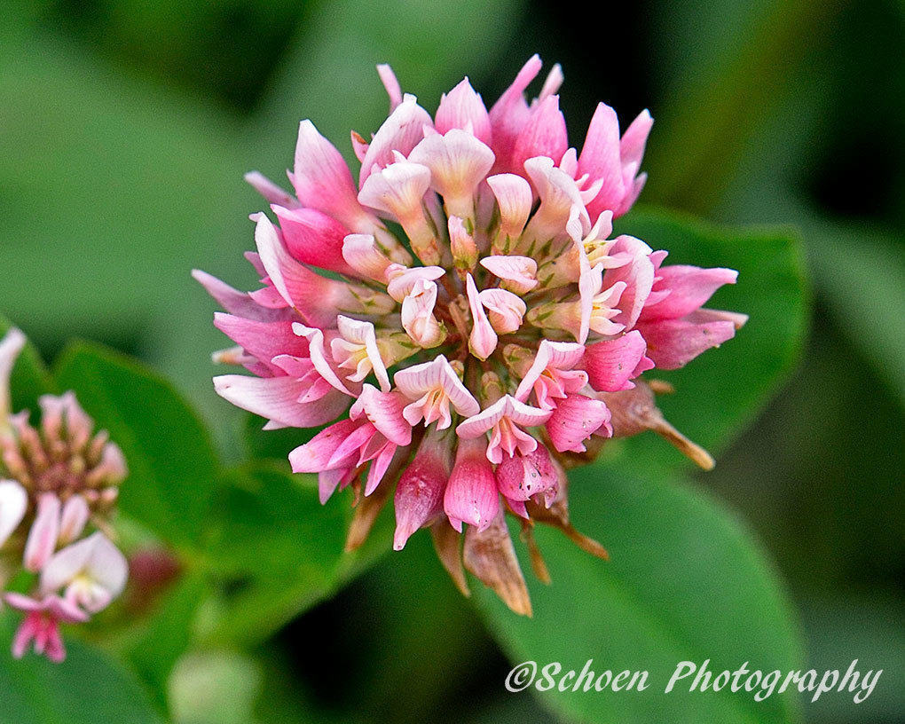 Red Clover 001