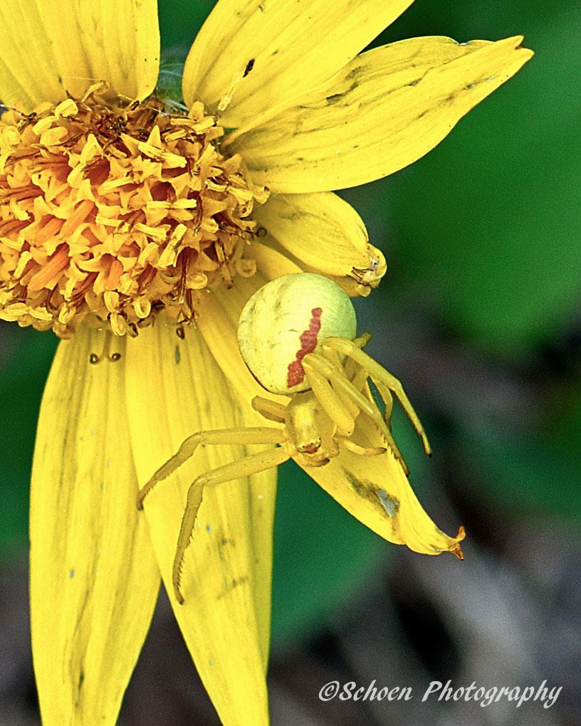 Yellow Spider 002