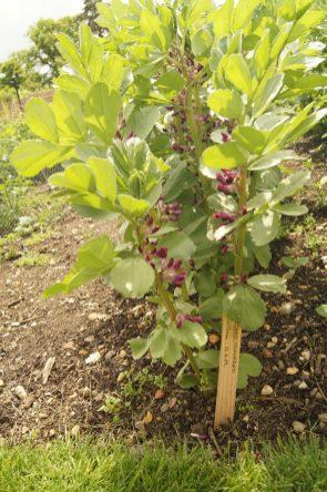 Crimson Flowered in Walled Garden von Holkam Hall