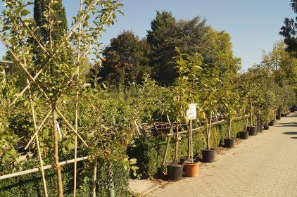 Obstgehölz im Garten Center