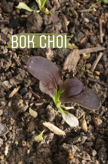 der Rote Bok Choy
