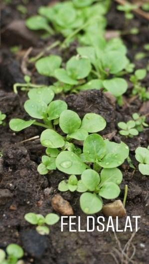 5 Wochen nach der Aussaat: Feldsalat