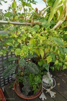 Tomatillo Büsche im Container