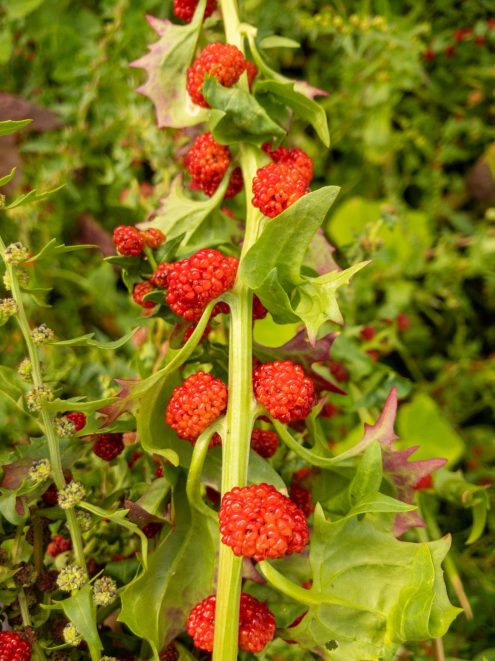 Erdbeerspinat