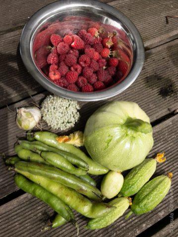 Ernte aus dem Gemüsegarten im Juni, Puffbohnen r.u.