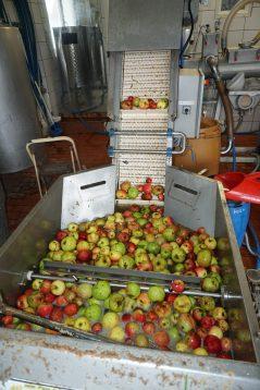 Die gewaschenen Äpfel wandern in die Presse