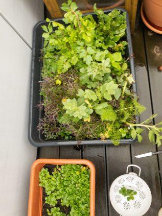 Salat im Balkongarten