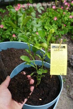 Spezielle Zitruspflanzen Erde von Compo Sana