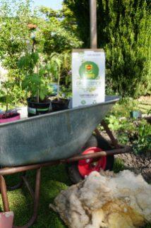 Tomaten Pflanzung unter dem Schutzdach. Mit organischem Dünger, Kompost und Schafwolle.