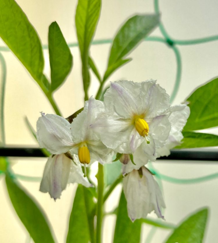 Pepinoblüten