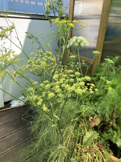 Fenchel im Roll Container