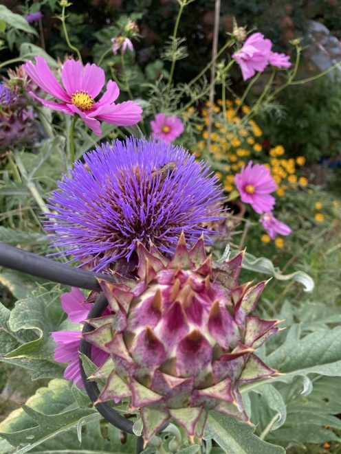 Cardy Knospe und Blüte