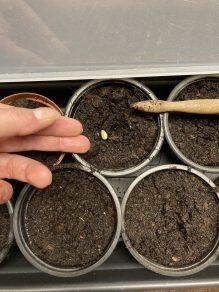Aussaat Artischocken Samen