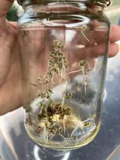 Gekeimte Karotten im Schraubglas