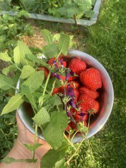 Frisch gepflückte Zutaten für die Erdbeerbowle