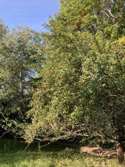 Die Äpfel am Apfelbaum sind erntereif.