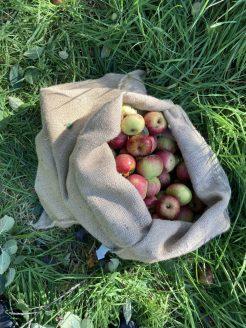 Geerntete Äpfel im Kafeesack.