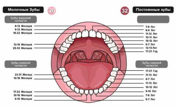 Название зубов молочных у детей