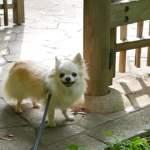 犬の分離不安(寂しがり)がホメオパシーで軽減