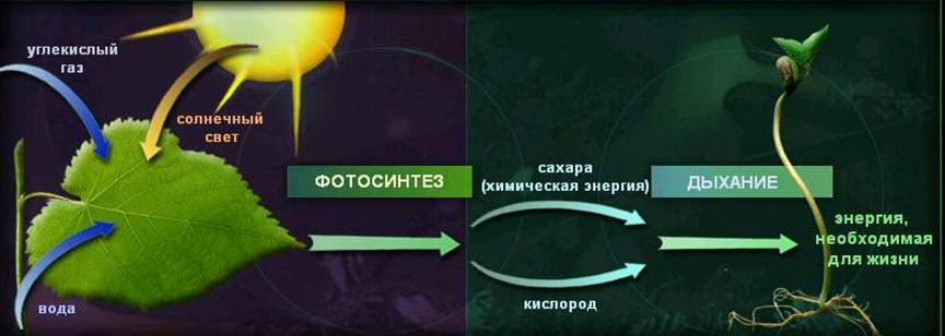 Общие уравнения фотосинтеза и дыхания тем