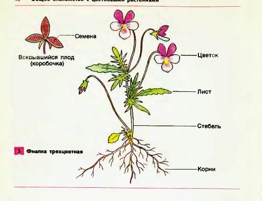 Строение Цветкового Растения Картинки